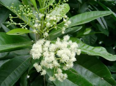 Allspice Flowers
